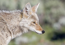 Coyote portrait with green background, side view Royalty Free Stock Photo
