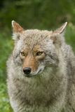 Coyote portrait Royalty Free Stock Photography