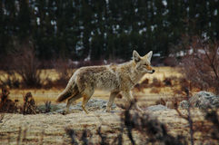 Coyote portrait. A coyote strolls through the mountains in Rocky Mountain national park, near Estes Park Colorado Royalty Free Stock Image