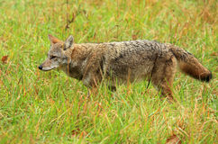 Coyote. Portrait of wild eastern coyote Stock Image