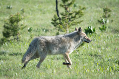 Coyote Pose Stock Images