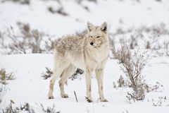Coyote poses in a snowy sagebrush neadow. Coyote in winter in Yellowstone National Park stock images