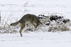 Coyote pouncing in the snow. This coyote was hunting in Eastern Oregon Royalty Free Stock Images