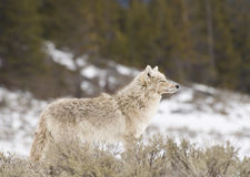 Coyote Pride. Coyote pauses to savor the winter wind stock photography