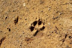 Coyote Print. I came across this coyote paw print one afternoon day last week Royalty Free Stock Photos