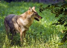 Coyote Profile Royalty Free Stock Photos