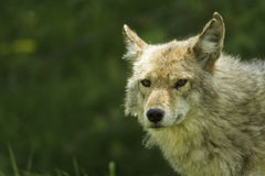 Coyote profile in the spring stock photography