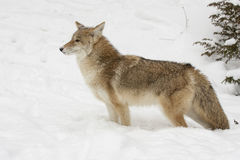 Coyote, profile,  standing in snow with evergreen trees in backg Stock Images