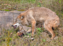 Coyote protecting kill Royalty Free Stock Photography