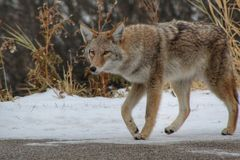 Coyote On The Prowl stock image