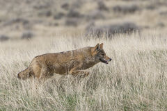 Coyote on the prowl for food Stock Photos