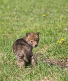 Coyote pup. Young coyote pup looking over shoulder at the camera Stock Photography