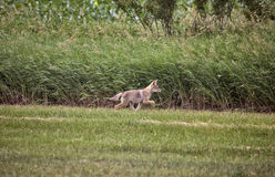 Coyote Pup canada. Against wheat crop Saskatchewan Stock Photos