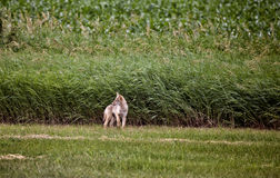 Coyote Pup canada. Against wheat crop Saskatchewan Royalty Free Stock Photo