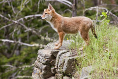 Coyote pup Canis latrans Royalty Free Stock Images