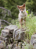 Coyote pup Canis latrans Stock Photos