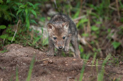 Coyote Pup (Canis latrans) Climbs Out of Den Royalty Free Stock Photography