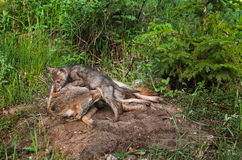 Coyote Pup (Canis latrans) Crawls Over Adult Stock Photo