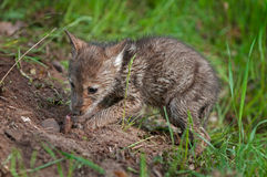 Coyote Pup (Canis latrans) Digs Up Buried Piece of Meat Stock Image
