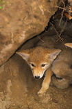 Coyote Pup in Den. A young coyote pup looking out from its den Royalty Free Stock Photography