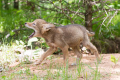Coyote pup learning to yelp Royalty Free Stock Photo