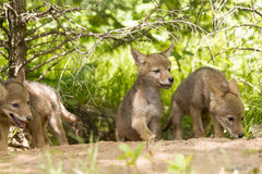 Coyote Pup Litter. Litter of Coyote Pups at Den site Stock Images