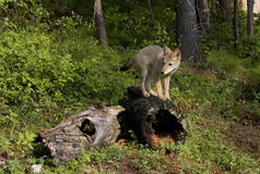 Coyote Pup on a Log Stock Images