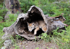 Coyote pup looking out of hollowed log. Stock Photo