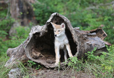 Coyote pup looking out of hollowed log. Royalty Free Stock Photography