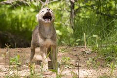 Coyote Pup Near Den. Coyote Pup Yelping By Den royalty free stock photography