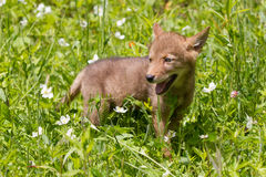 Coyote pup standing in flowers. During the spring season Royalty Free Stock Photo