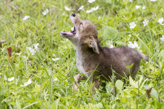 Coyote Pup Yelping. In Springtime Stock Photo