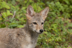 Coyote Puppy Close up Stock Photos