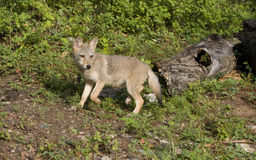 Coyote Puppy Ready to Run Stock Photo