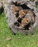 Coyote pups Stock Photo