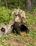 Coyote Pups Stock Images