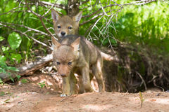 Coyote pups exploring outside den. In spring Royalty Free Stock Image