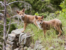 Coyote pups on rock outcropping Stock Image