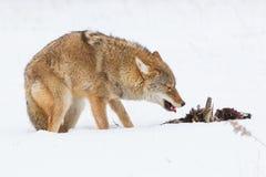 Coyote que come el faisán imágenes de archivo libres de regalías