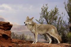 Coyote que gañe Imagenes de archivo