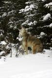 Coyote que grita en nieve Fotos de archivo libres de regalías