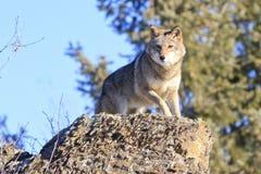 Coyote que mancha la pequeña presa imágenes de archivo libres de regalías