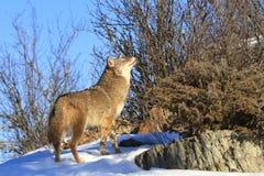 Coyote que marca su olor imagenes de archivo