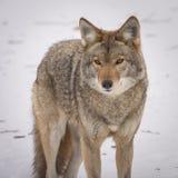 Coyote que mira la cámara en el invierno fotos de archivo
