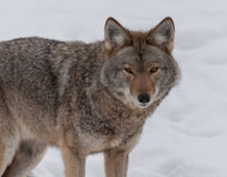 Coyote que recorre en la nieve Imágenes de archivo libres de regalías