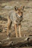 Coyote que se coloca cerca de un parque nacional de Yosemite del inicio de sesión Imágenes de archivo libres de regalías