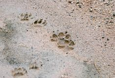 Coyote and Raccoon wildlife track print in mud, USA Stock Photo