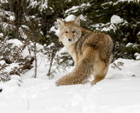 Coyote, rear view, in deep snow with conifers in background Stock Images