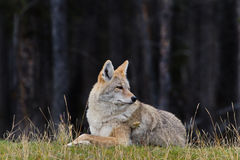 Coyote is relaxed and alert. Coyote decides to rest and remains relaxed and alert in Banff, Alberta province, in Canada. Business concept of strategic overview stock photography