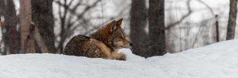 Coyote Relaxing In The Snow Stock Photo